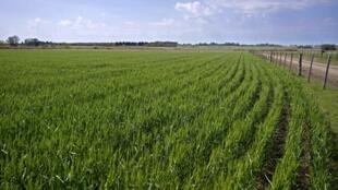 """Se trata de una variedad de trigo bautizada """"HB4"""", resistente a la sequía, y su comercialización estará condicionada a la aprobación de Brasil, el mayor importador del cereal argentino"""
