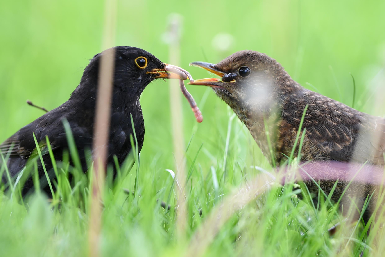BLACKBIRD-GLUE-TRAPS