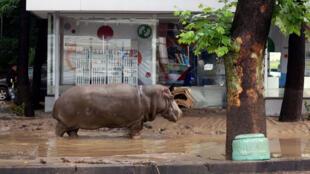 Un hippopotame dans une rue inondée de Tbilissi, le dimanche 14 juin 2015, en Géorgie.