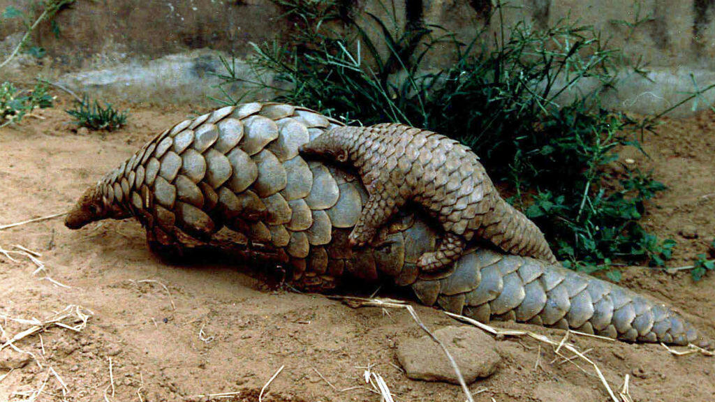 A baby pangolin on its mother's back at a zoo in India in 2001.