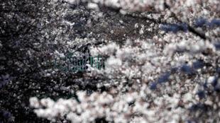 أزهار شجر الكرز في اليابان