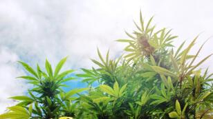 Des économistes estiment qu'une filière légale de cannabis pourrait rapporter plus de deux milliards d'euros à l'État.