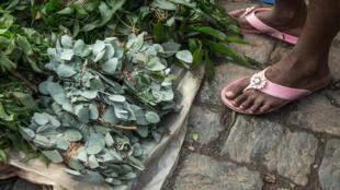 Unas hojas de kininina fotsy ('eucalyptus grandis'), a la que se le atribuye cualidades para fortalecer el sistema inmunológico, a la venta en el mercado Ambodivona de Antananarivo el 26 de marzo de 2020