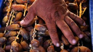 Un agriculteur pose sa main sur les dattes qu'il va aller vendre en gros au souk de la ville.