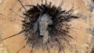 Stuckie, le chien momifié dans un tronc d'arbre en Géorgie.
