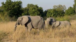 Des éléphants d'Afrique dans le South Luangwa National Park, dans l'est de la Zambie.