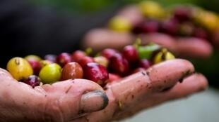 La campesina Deisy Mireya muestra granos de café cosechados el 7 de mayo de 2018 en Viota, Colombia
