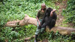 Patrick Karabaranga, gariden du parc national des Virunga, avec un gorille des montagnes orphelin, le 17 juillet 2012.