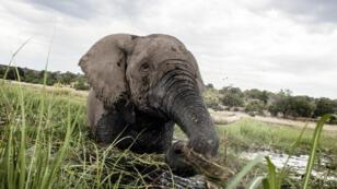 Un éléphant sur la rivière Chobe, au Botswana(archives).