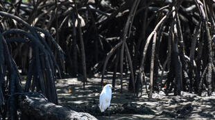 Environmentalists warn that rolling back regulations protecting Brazil's mangroves would open such lands up to development, with possibly catastrophic impact on their ecosystems