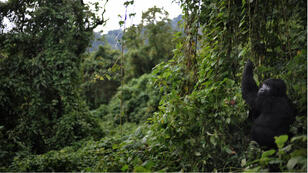 Les gorilles de montagne du parc des Virunga, en RDC, sont parmi les derniers au monde. Ils sont menacés par le braconnage, la guerre et la déforestation.