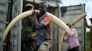 Un voluntario traslada un colmillo de elefante el 22 de abril de 2016 hasta uno de los puntos en los que se llevó a cabo una quema masiva de marfil ilegal.