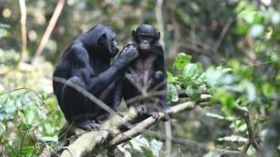 Un jeune bonobo (droite) avec sa mère, dans la réserve de Kokolopori en République démocratique du Congo