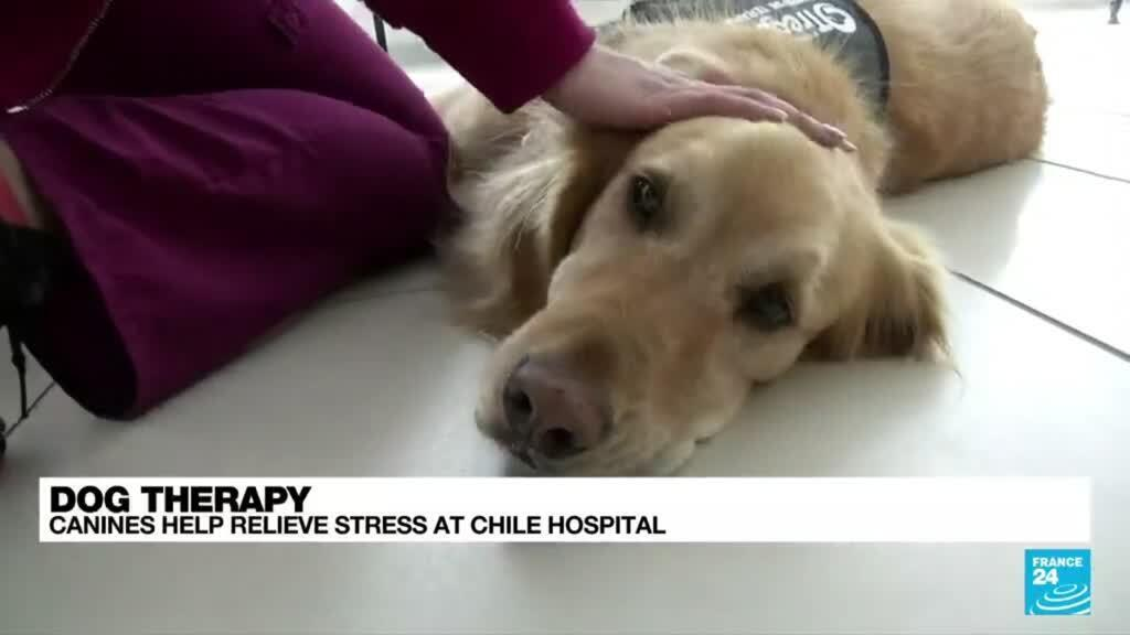 2021-09-24 08:36 Chile 'therapy' dogs offer tummy rubs to soothe patients, medics