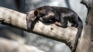 Iker, el oso hormiguero bebé nacido en cautiverio en el zoológico de Huachipa, camina sobre una rama, en Lima, Perú, el 8 de mayo de 2020