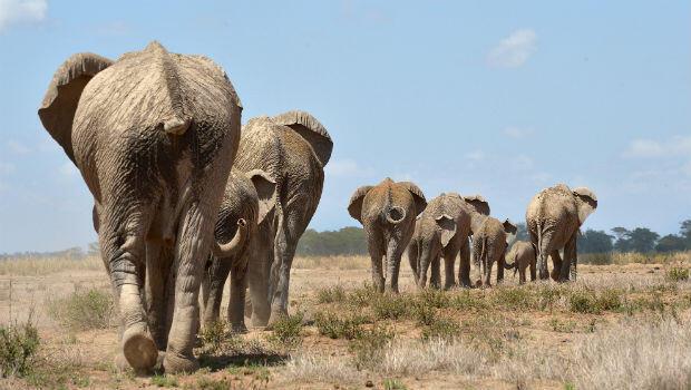 Una manada de elefantes rumbo a un pozo de agua en la reserva ubicada en Amboseli, el 13 de noviembre de 2015.