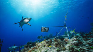Un tiburón de arrecife del Caribe junto a un sistema de video acuático en las Bahamas, en una foto sin fecha cedida por Global FinPrint el 22 de julio de 2020