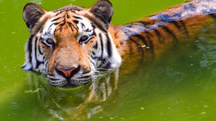 A tiger swims inside an enclosure at the Dubai Safari Park, which has reopened after a two-year expansion