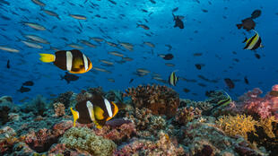 Un massif corallien sur cinq a déjà disparu et d'ici 2030, 90 % seront menacés de disparition, selon les scientifiques.