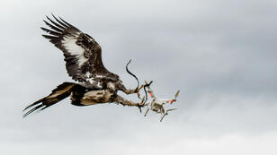 À Mont-de-Marsans, sur la base aérienne BA-118, l'armée de l'Air française dresse des aigles pour neutraliser les drones.