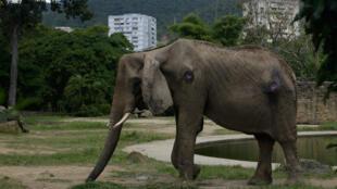 Blessée et très maigre, Ruperta, la dernière éléphante du zoo de Caricuao.