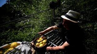 Salvatore Aceto cuida sus limones en Amalfi, Italia, el 2 de julio de 2020