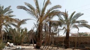 أشجار نخيل مهملة في مدينة البصرة في جنوب العراق في 31 آب/أغسطس