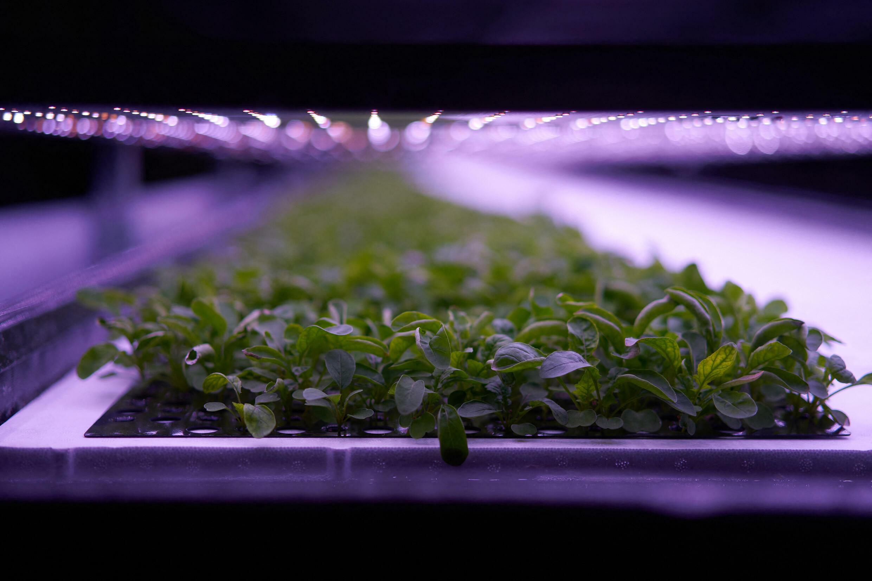 """Des plantes cultivées dans la ferme végétale verticale """"Nordic Harvest"""", située à Taastrup, dans la banlieue ouest de Copenhague."""