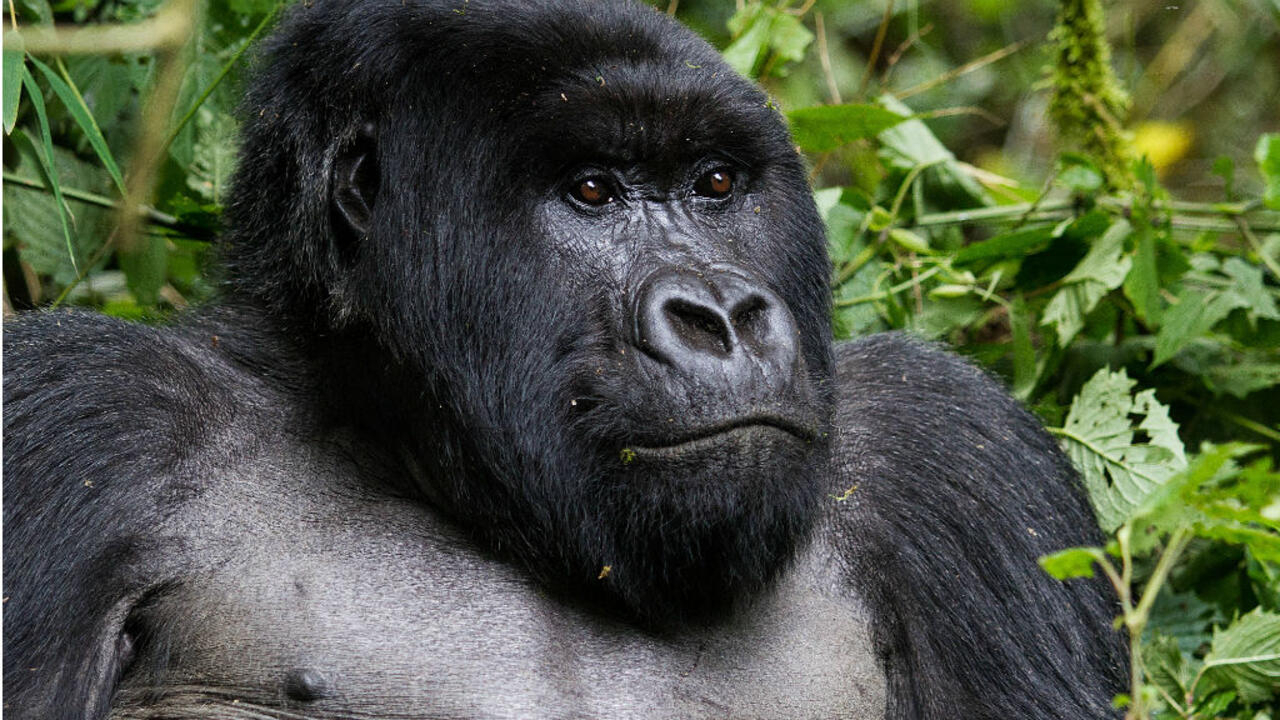 Scientists trace strains of HIV virus to gorillas in Cameroon