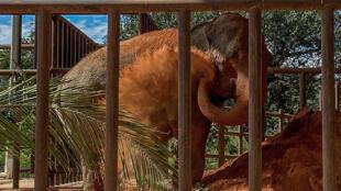 La elefanta Mara llegó al Santuario de Elefantes del estado de Mato Grosso, en Brasil, tras viajar cuatro días desde el Ecoparque de Buenos Aires