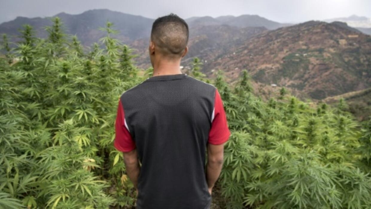 Foreign hybrids stubbing out Morocco's renowned cannabis