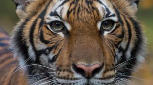 Photo diffusée le 5 avril 2020 par le zoo du Bronx, à New Yorik, du tigre malais Nadia testé positif au coronavirus