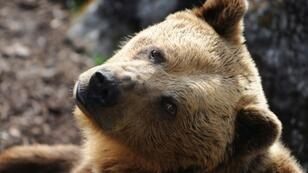 Brown bears have been extinct in Portugal since the 19th century