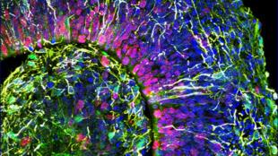 Imagen de un corte transversal de un organoide cerebral