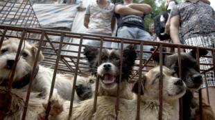 Sur le marché de viande de chien à Yulin en Chine, juin 2015.
