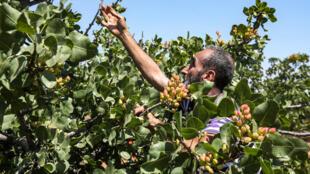 Un productor de pistachos examina sus árboles en Maan (norte de Siria), el 24 de junio de 2020