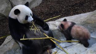 Yuan Meng avec sa mère Huan Huan au zoo de Beauval, le 13 janvier 2018.