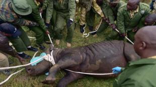 Miembros del Kenya Wildlife Services trasladan a un rinoceronte sedado, el 26 de junio de 2018.