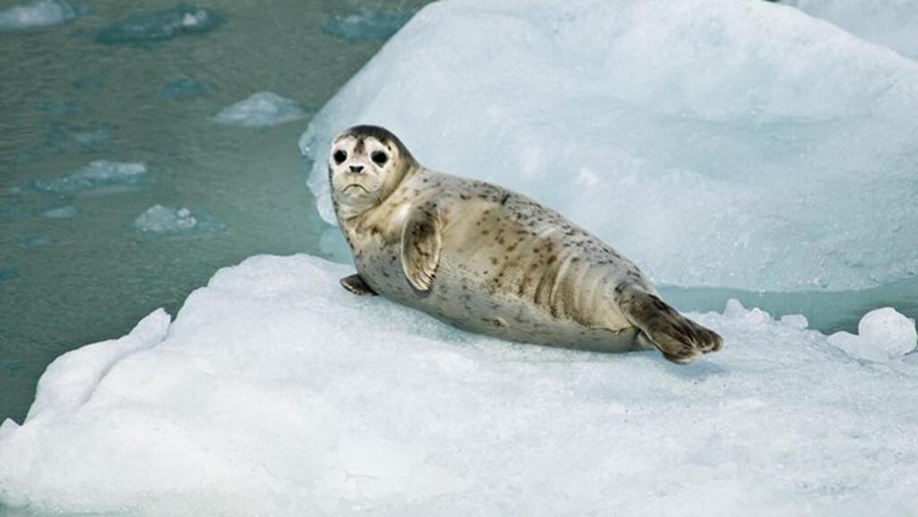 Una cría de foca descansa sobre un iceberg en Johns Hopkins Inlet, Alaska.