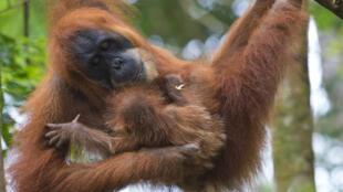 Un orang-outan et son bébé sur l'île de Sumatra, en avril 2013.