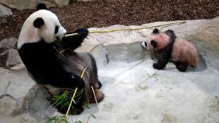 Yuan Meng, un bebé panda de cinco meses , y su madre Huan Huan son vistos dentro de su recinto durante la primera aparición pública del cachorro el 13 de enero de 2018.