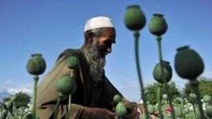 Culture du pavot en Afghanistan