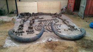 Squelette complet d'un mammouth découvert en Sibérie en 2015.