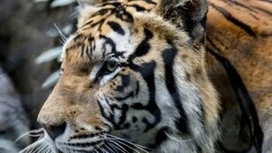 Iconic animals like this Bengal tiger pictured in Medellin, Colombia zoo, pervade the popular culture but are at risk in the wild