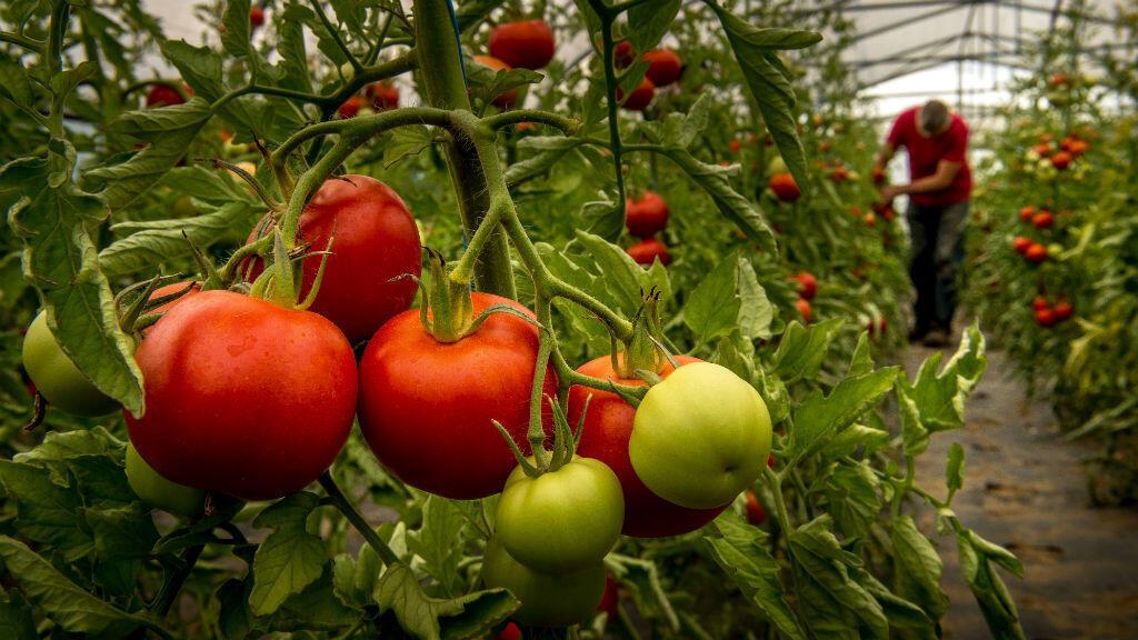 Une plantation de tomates biologiques à Perenchies dans les Hauts-de-France.