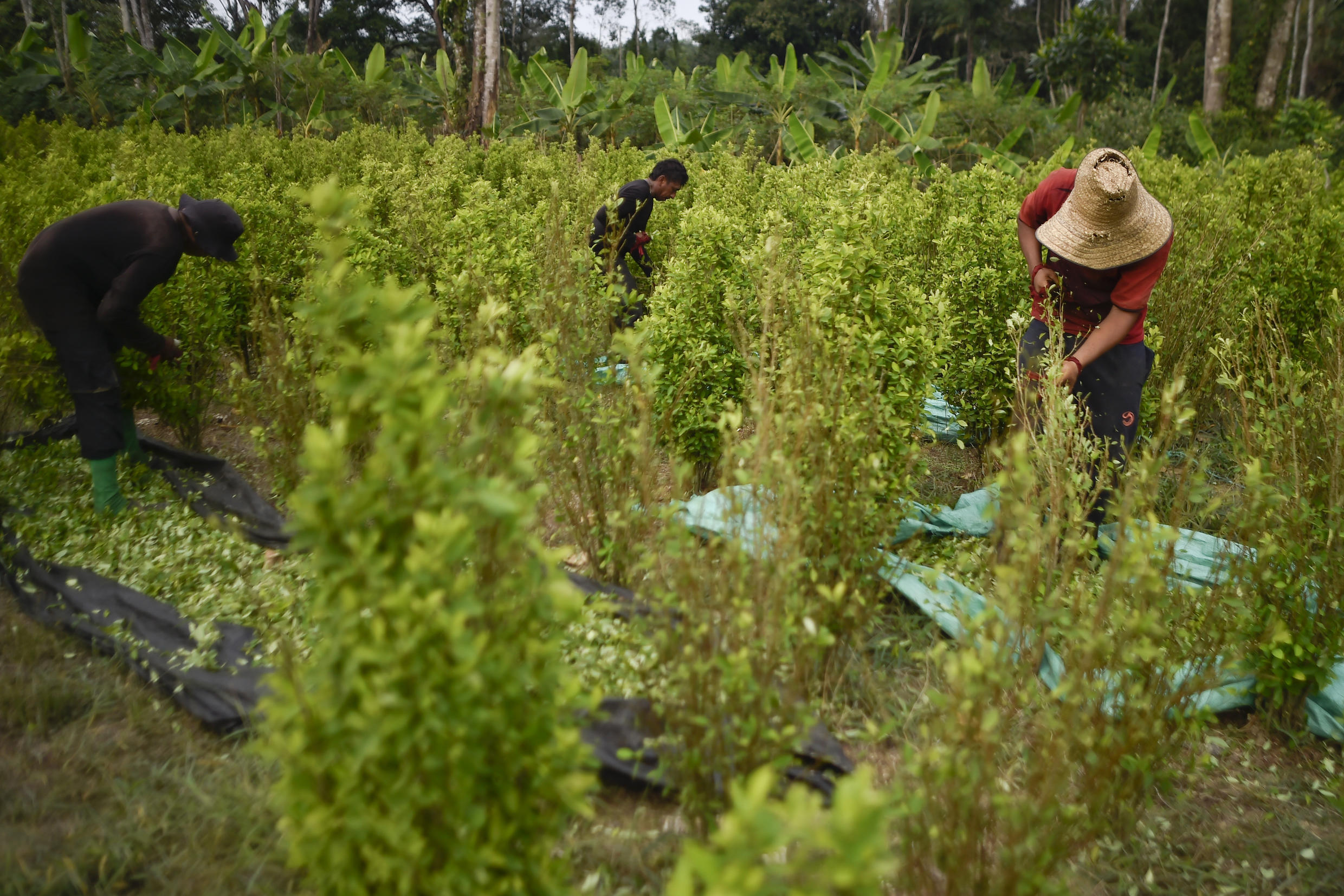 """File photo taken on February 8, 2019 shows a """"Scrapers"""" (farmers who collect coca leaves), working on a coca plantation in the Catatumbo region, Norte de Santander department, in Colombia."""