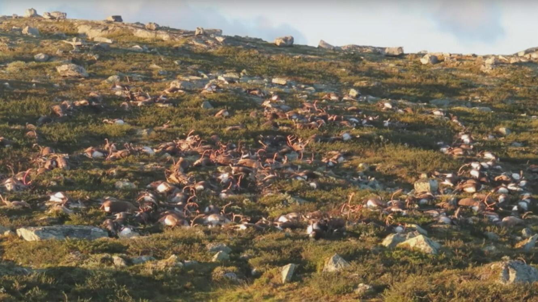 323 rennes morts foudroyés dans le sud de la Norvège.