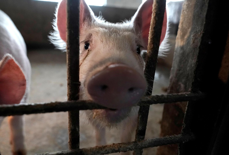 La nouvelle souche de virus H1N1 est apparu dans les élevages porcins du sud de la Chine en 2013