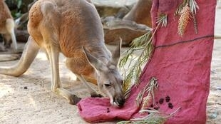 Kangaroos like this one pictured at Sydney's Taronga Zoo in 2013 can grow up to six foot seven inches (two meters) and weigh 200 pounds (91 kilograms)