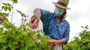 Une employée travaille avec un masque à Grasse, berceau mondial de la parfumerie dans le sud-est de la France, le 14 mai 2020